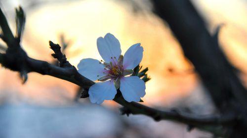 pavasaris,migdolų žiedai,makro
