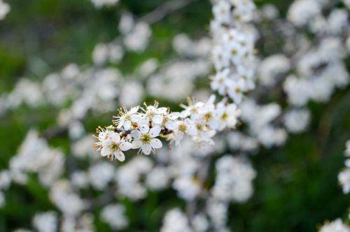 spring sloe flower