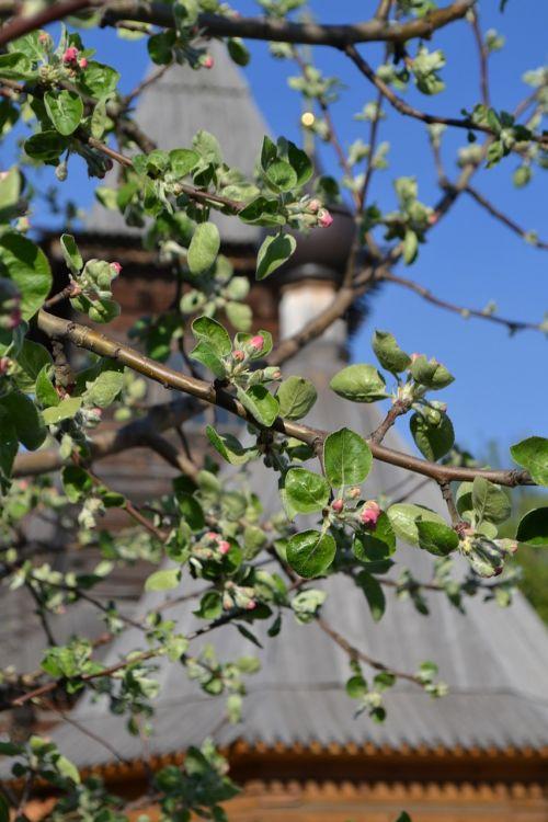 spring apple tree moore