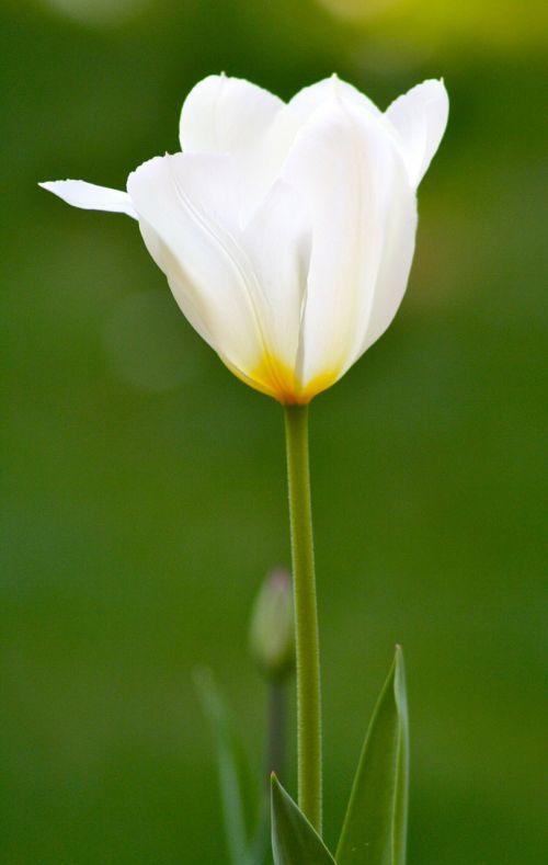 Tulipflowerorangespringjacques fath free photo from needpix springflowertulipfree photosfree imagesroyalty free mightylinksfo