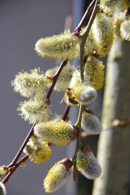 spring willow catkin blossom