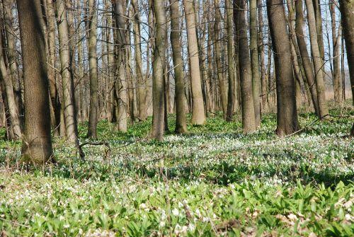 spring aspect floodplain forest snowdrops