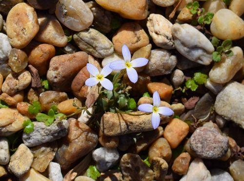 spring bluet bluet spring