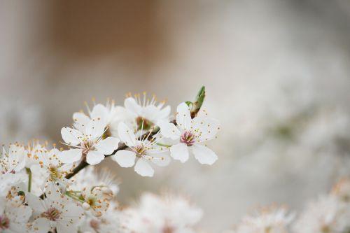 pavasario atostogos,žygio beprotybė,pavasaris į priekį,pavasarinis žydėjimas,žydintis medis,baltas žydėjimas