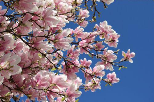pavasario atostogos,žygio beprotybė,pavasaris į priekį,pavasarinis žydėjimas,žydintis medis,rožinis žydėjimas,magnolijos gėlės