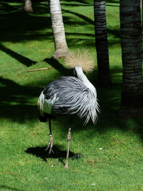 spring crown crane bird