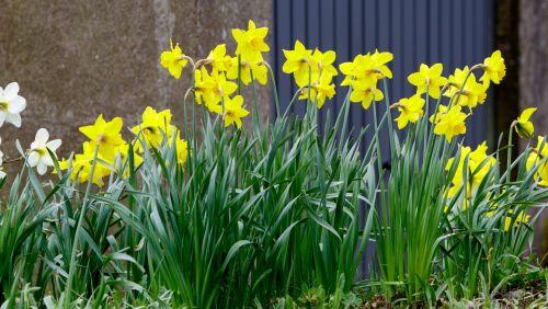 Spring Daffodil Flowers Row