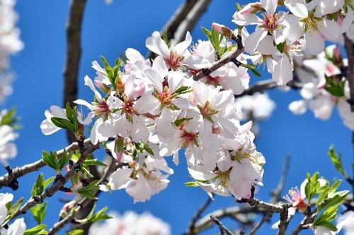 spring flower  spring  kikelet pansio