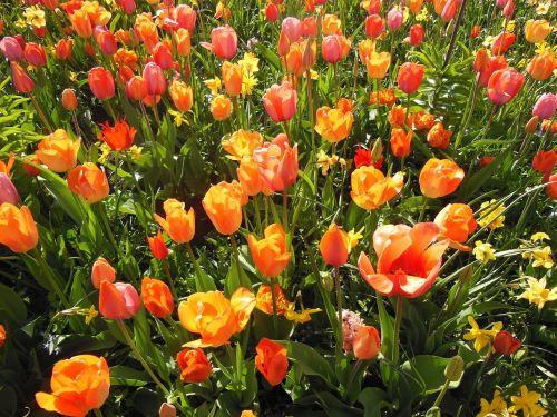 pavasario gėlės,bulviniai augalai,šiltos spalvos,tapetai,tulpės,dvigubos tulpės,oranžinė,oranžinė raudona,raudona,gėlė,sodas,augalai,gėlės,svogūninės gėlės,žalias,vasara,pavasaris,saulės šviesa,saulėtas oras