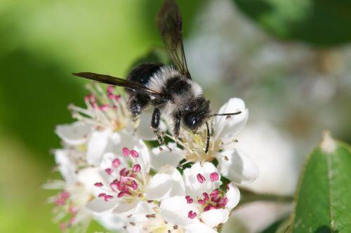 spring furry bee on aroniablüte bee aronia