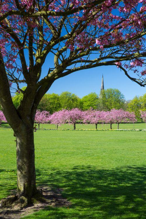 vyšnia, žiedas, pavasaris, medis, sodas, kraštovaizdis, žiedai, parkas, gamta, Sakura, rožinis, peizažas, sezonas, žydėti, gėlė, kelias, pavasaris, žalias, gražus, pavasaris parke