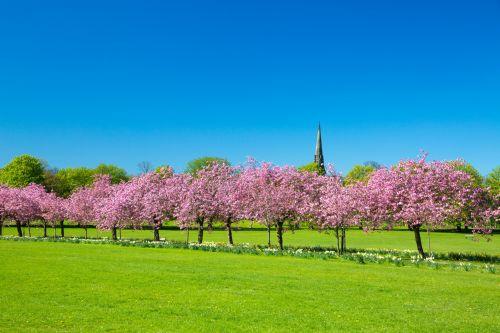 gražus, žydėti, žiedas, žiedai, vyšnia, gėlė, sodas, žalias, kraštovaizdis, gamta, parkas, kelias, rožinis, Sakura, peizažas, sezonas, pavasaris, pavasaris, medis, pavasaris parke