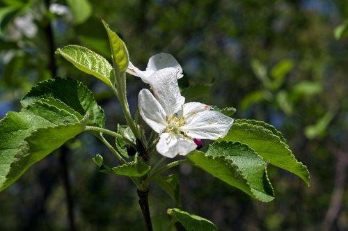 spring in arkansas apple blossoms  blossom  spring