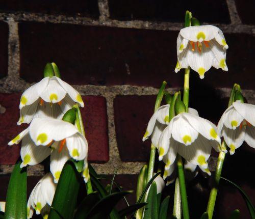 spring-knot flowers snowflake garden