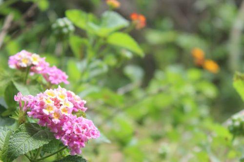 Spring Pink Lantana Flower