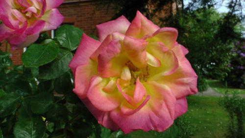 gėlė, gėlės, rožė, rožės, flora, augti, auga, sodas, sodai, krūmas, krūmai, sodininkystė, sodininkystė, žalias, augalas, augalai, botanikos, botanikos, pavasario rožė