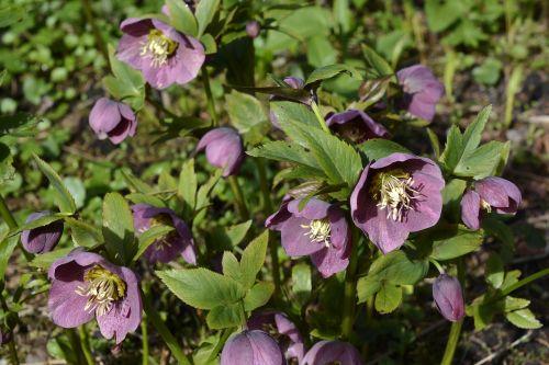 spring roses hellebore flowers
