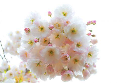 pavasaris, medis, filialas, filialai, šakelė, sezonas, gamta, fonas, gėlė, gėlės, pavasario šakelė