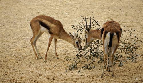 springbok zoo pack