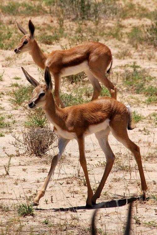 springbok sprinbock kalahari