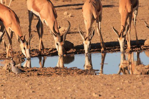 springbok drinking waterhole