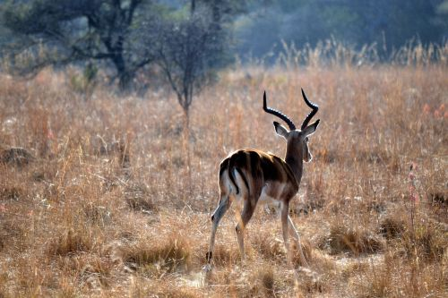 springbok early morning wildlife