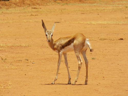 springbok gazelle african