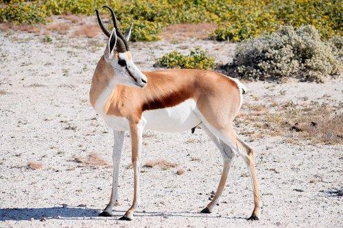 springbok  male  antelope