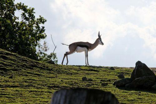 springbok hill grass