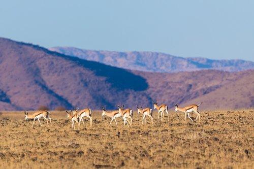 springbok  springbok herd  flock