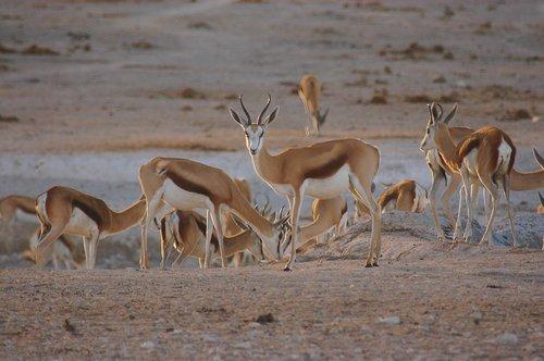 springbok  antelope  africa