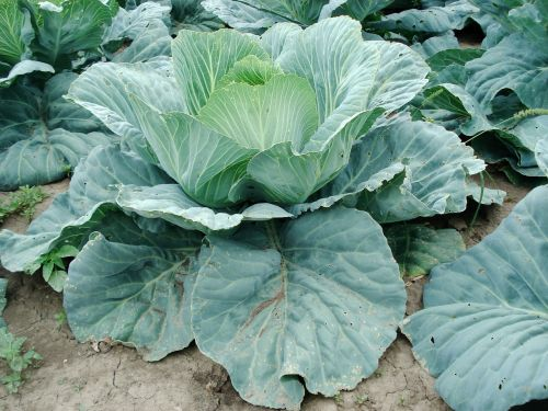 sprouts cabbage plant