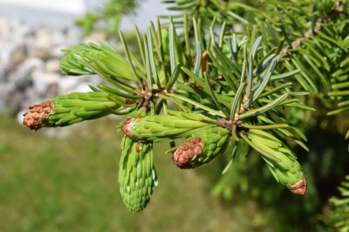 spruce young shoots