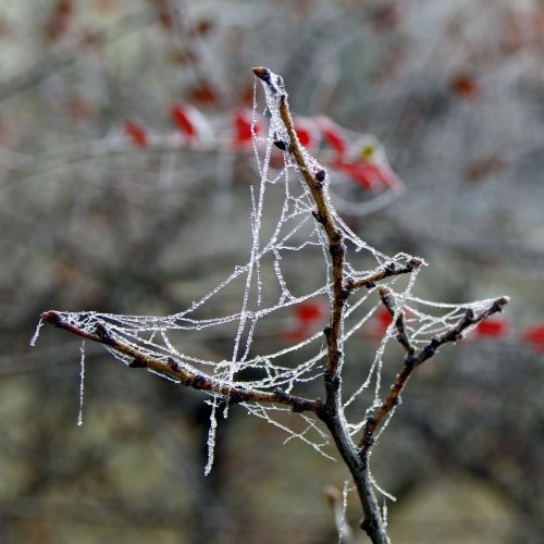 spruce cobweb ice