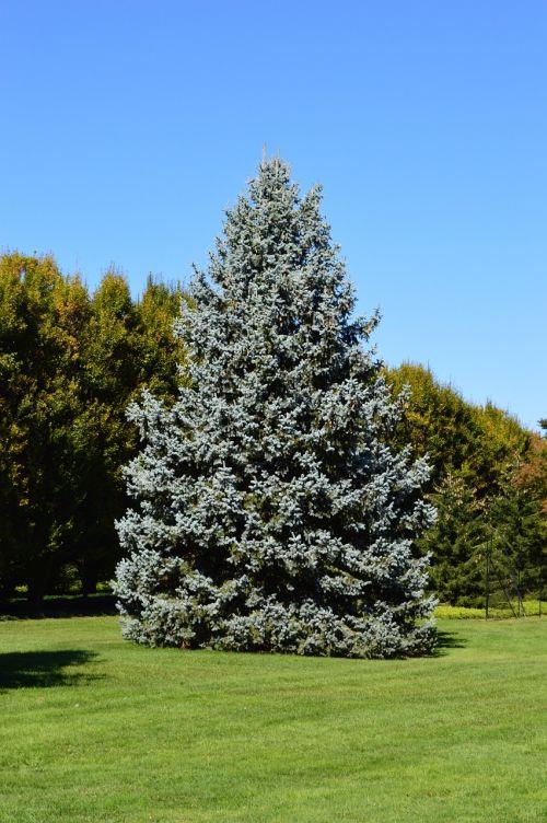 spruce tree blue spruce