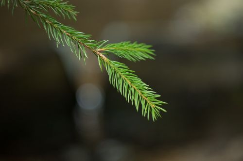 spruce forest needles