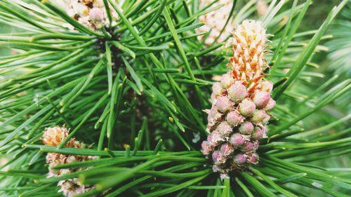 spruce macro branch