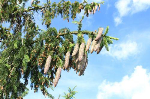 spruce fir cones sky