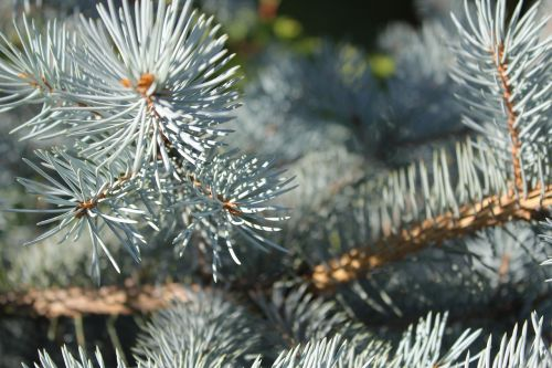 spruce pine blue spruce