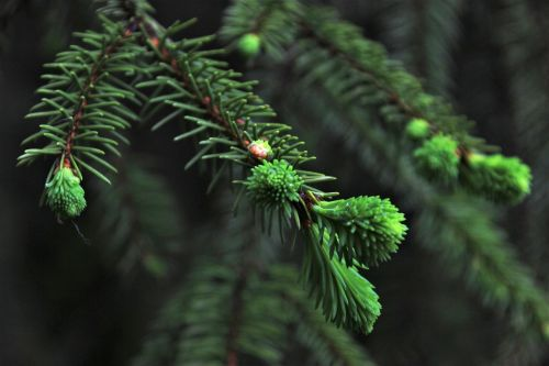 spruce christmas tree needles