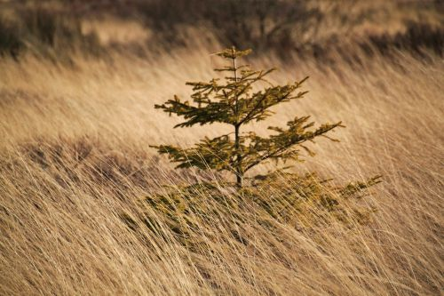 spruce,tree,conifer,branches,branch,green,periwinkle,autumn,moor,plant,nature,meadow,landscape,nature reserve,grass,grasses,moist,swamp,nature conservation,belgium,venn,moorland,wetland,colors of nature