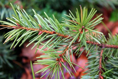 spruce sprig coniferous