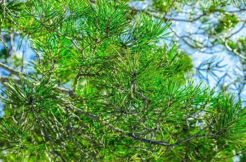 spruce fir branch