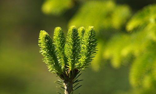 spruce  needles  new