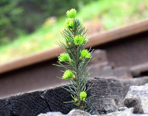spruce  rail  strange
