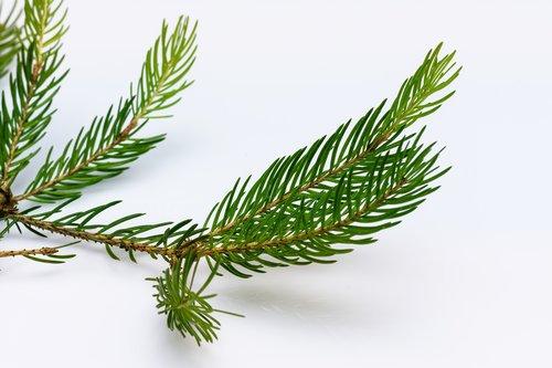 spruce  branch  conifer