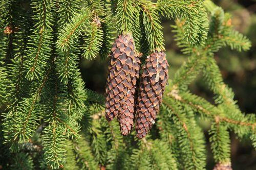 spruce cone pine cone