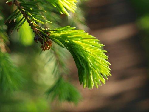 spruce  tree  nature