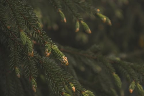 spruce  pine cone  forest