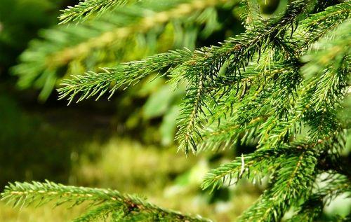 spruce needle summer